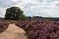 2014 Nijverdal Sallandse Heuvelrug Purple Fields.jpg