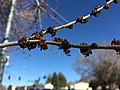 2015-03-06 14 30 29 Dead spring flowers on a Siberian Elm along Lamoille Highway (Nevada State Route 227) in Elko, Nevada.JPG