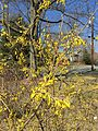 2015-04-12 11 33 21 Forsythia blossoms beginning to open along Terrace Boulevard in Ewing, New Jersey.jpg