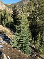2015-10-31 09 24 57 Mountain Hemlock sapling along the Mount Rose Trail about 1.7 miles northwest of Mount Rose Summit, Nevada.jpg