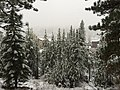 2015-11-02 07 32 35 Snow-covered Pine trees along the Truckee River Legacy Trail during a snowstorm at Truckee River Regional Park in Truckee, California.jpg