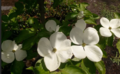 2016-05-08 1452 Cherokee Princess dogwood.png