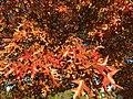 2016-11-12 15 23 37 Pin Oak autumn foliage in Franklin Farm Park in the Franklin Farm section of Oak Hill, Fairfax County, Virginia.jpg