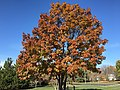 2016-11-15 11 20 49 Red Oak displaying autumn foliage along Franklin Farm Road near Tranquility Lane in the Franklin Farm section of Oak Hill, Fairfax County, Virginia.jpg