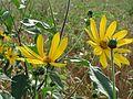 20160727Helianthus tuberosus2.jpg