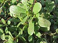 20160902Portulaca oleracea1.jpg