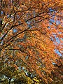 2017-11-24 14 09 54 View up into the canopy of a Pin Oak in late autumn along Thorngate Court in the Franklin Farm section of Oak Hill, Fairfax County, Virginia.jpg