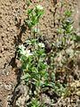 20170412Arenaria serpyllifolia5.jpg