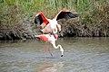 20170425 138 Camargue Flamingo (34422636776).jpg