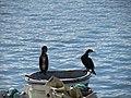 2018-02-04 Cormarants on Fishing boat, Porto de Abrigo, Albufeira.JPG