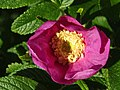 2018-05-24 Dog rose, Beeston Regis nature trail, Beeston Regis, Sheringham (1).JPG