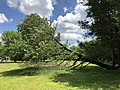 2019-05-31 12 49 12 A Cherry tree broken during a storm, with all the lower leaves having been eaten by deer, along a walking path in the Franklin Glen section of Chantilly, Fairfax County, Virginia.jpg