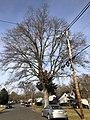 2019-12-25 13 24 00 Pin Oak in winter along Terrace Boulevard near Walton Avenue in the Parkway Village section of Ewing Township, Mercer County, New Jersey.jpg