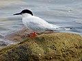 2020-07-18 Sterna dougallii, St Marys Island, Northumberland 03.jpg