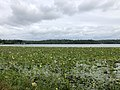 2020-08-16 16 50 16 View across a large patch of American Lotus in Swartswood Lake within Stillwater Township, Sussex County, New Jersey.jpg