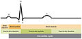 2028 Cardiac Cycle vs Electrocardiogram.jpg