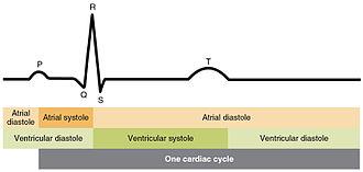 Cardiac physiology - Cardiac cycle shown against ECG