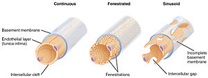 Capillary - Depiction of the three types of capillaries. The fenestrated type in center shows fenestrations; the sinusoidal type on the right shows intercellular gaps and an incomplete basement membrane .