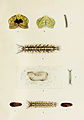 22-Indian-Insect-Life - Harold Maxwell-Lefroy - Trabala-vishnu.jpg