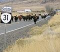 31 cattle drive.jpg