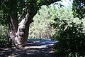 400-летний дуб 346270.jpg