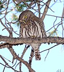 458 - NORTHERN PYGMY-OWL (4-8-2015) humboldt cyn, santa cruz co, az -07 (16460277004).jpg