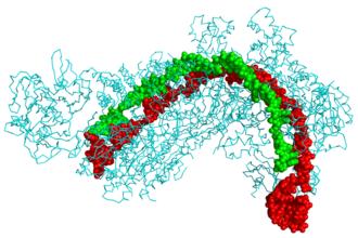 CRISPR - CRISPR Cascade protein (cyan) bound to CRISPR RNA (green) and viral DNA (red)
