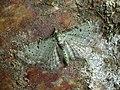 70.145 BF1861 Bilberry Pug, Pasiphila debiliata (8981304580).jpg