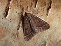 70.282 BF1960 Early Moth, Theria primaria (8350127560).jpg