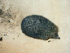 Description de l'image AB001 Hedgehog from Rajasthan.jpg.