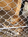 A Tiger rescue center where our government rescue tiger ^ lions from different Indian circus ^ our government done a very god job for wild animals. - panoramio.jpg