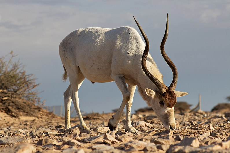 A big male Addax showing as the power of his horns.jpg