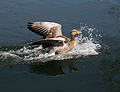A greylag goose in Hooks Marsh Lake at Fishers Green, Lee Valley, Waltham Abbey, Essex, England.jpg