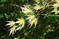 A palmatum 'Kinran' JPG1a.JPG