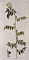 A plant (Glycyrrhiza echinata) related to liquorice plant; f Wellcome V0042897EL.jpg