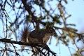 A red squirrel in a spruce tree (314a22cd-3928-4fc5-b752-4f28c5c6538d).jpg