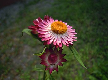 A red strawflower in India.jpg