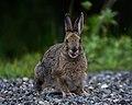 A snowshoe hare caught mid-chew (c96d7435-43a8-4efd-bf58-cf6821a15ba4).jpg