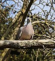 A wood pigeon at City of London Cemetery and Crematorium 02.jpg