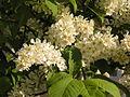 Ab plant 1643.jpg