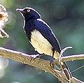 Abbott's Starling (adult) (cropped).jpg