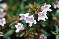 Abelia x grandiflora Edward Goucher 2zz.jpg