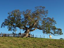 Acacia heterophylla 1.JPG