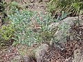 Acacia podalyriifolia habitus.jpg
