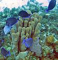 Acanthurus coeruleus (blue tang) (San Salvador Island, Bahamas) 5 (15962615858).jpg