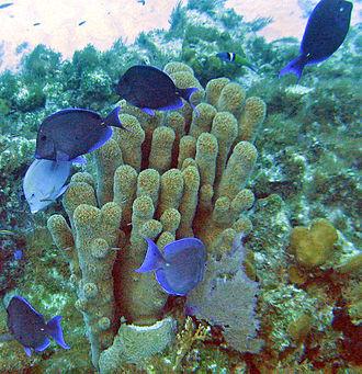 Acanthurus coeruleus - Acanthurus coeruleus at San Salvador Island, Bahamas. The coral is Dendrogyra cylindrus.