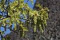 Acer macrophyllum 7996.JPG