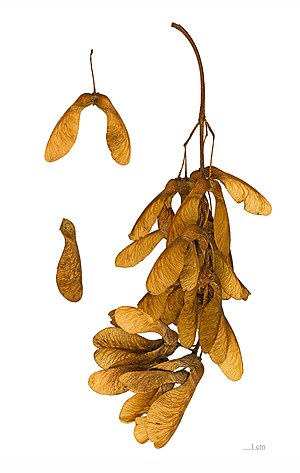 Homology (biology) - Sycamore maple fruits have wings analogous but not homologous to a bird's.