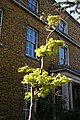 Acer shirasawanum 'Aureum' Golden Full Moon Maple at Myddelton House, Enfield, London 02.jpg