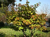Acer shirasawanum shape
